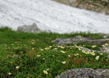 雪渓とチングルマ.jpg